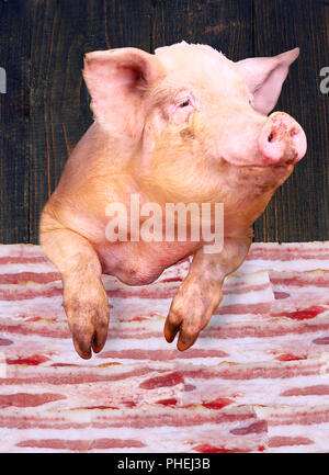 pig looks out over the layers of lards - Stock Photo