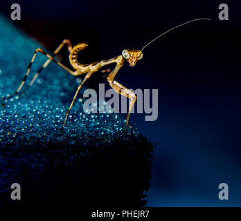 Close Up shot of Little Mantis - Stock Photo
