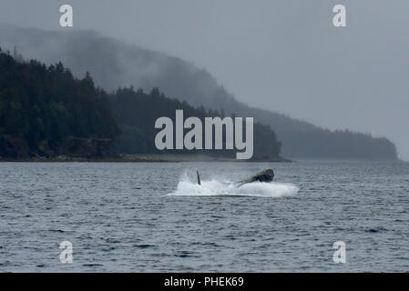 humpback whale breaching - Juneau Alaska - a juvenile humpback whale breaches in the Lynn Canal during a whale watching tour - cruise ship excursion - Stock Photo