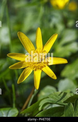 Close up at a Lesser Celandine spring flower - Stock Photo