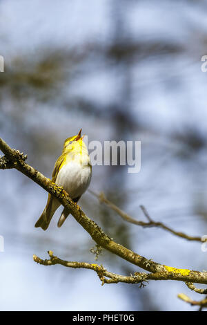 Close up at a singing Wood Warbler in a tree - Stock Photo