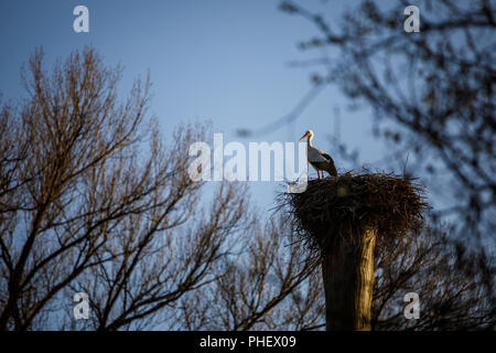 Elegant white stork (Ciconia ciconia) during the nesting season, busy taking care of his little ones - Stock Photo