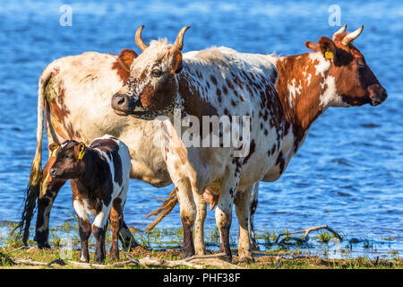 Cows with calves standing on the beach - Stock Photo