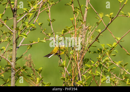 Yellow wagtail sitting on a branch in a tree - Stock Photo
