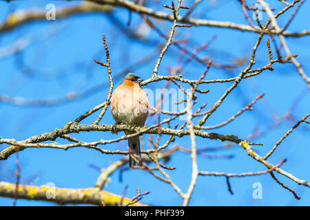 Chaffinch on a branch in the tree in spring - Stock Photo