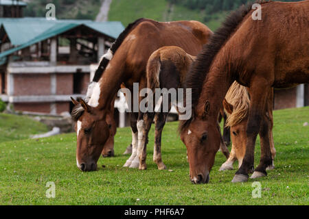 Group of horses grazing grass on pasture field - Stock Photo