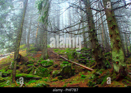 wild green dense forest with high fir-trees on the slope - Stock Photo