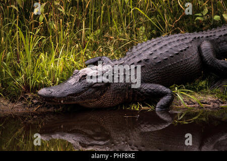 Large menacing American alligator Alligator mississippiensis - Stock Photo