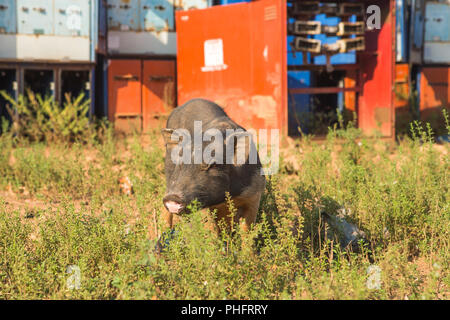 gray pig, close-up on green grass background - Stock Photo