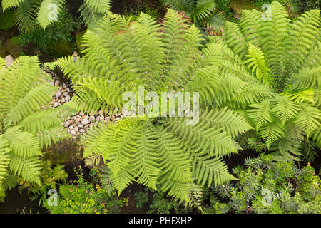 View of tree ferns / tree fern from above / a balcony in a temperate green house / greenhouse. London. UK. (101) - Stock Photo