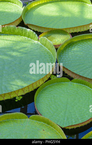 Victoria cruziana leaves (Santa Cruz water lily, water platter, yrupe) of the Nymphaeaceae family - Stock Photo