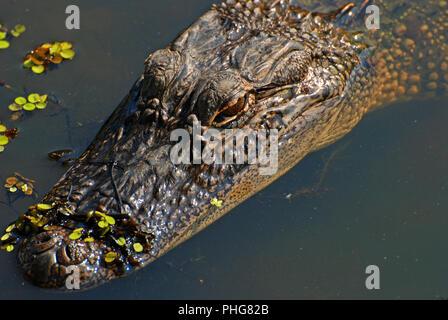 Alligator in the Bayou in Louisiana - Stock Photo