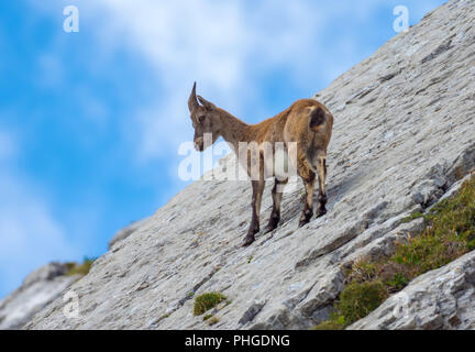 Ibex at Tomlishorn - Stock Photo