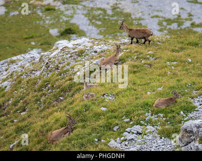 Ibexes at Tomlishorn - Stock Photo