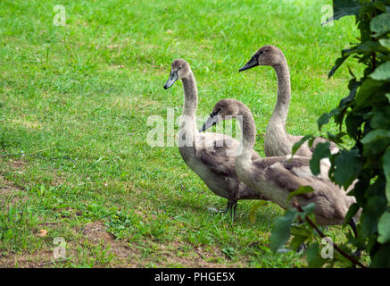 three young swan fledglings are walking along, coming out from behind a bush, green grass on the field, birds of brown-gray color, children's fluff, - Stock Photo