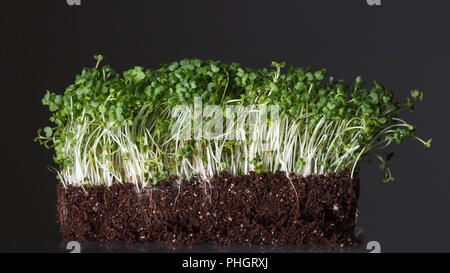 Young green grains growing in organic soil isolated on black - Stock Photo