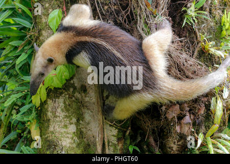 A tamandua in the Arenal National Park Costa Rica - Stock Photo