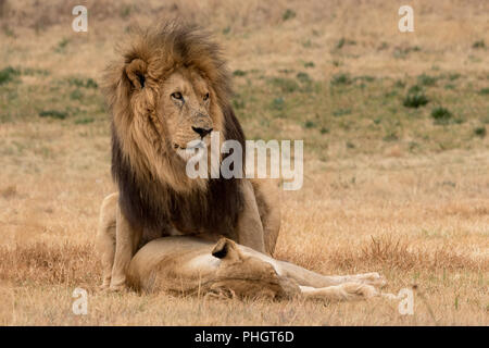 lions mating in the Kruger National Park South Africa Stock Photo