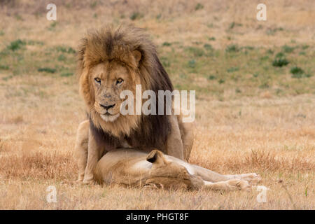 lions mating in the Kruger National Park South Africa - Stock Photo