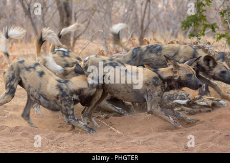 pack of wild dogs in Kruger National Park South Africa - Stock Photo