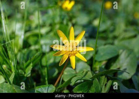 Lesser celandine spring flower - Stock Photo