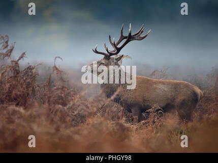 Close up of a red deer stag during rutting season on a foggy autumn  morning, UK. - Stock Photo