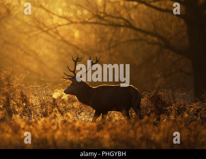 Silhouette of a Red deer stag (Cervus elaphus) with frosted breath against rising sun, UK. - Stock Photo