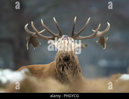 Close up of a Red deer stag bellowing in winter, UK. - Stock Photo