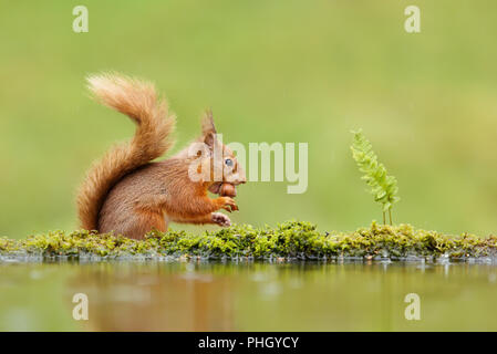 Close up of a red squirrel (Sciurus vulgaris) eating a nut on rainy day near water, UK - Stock Photo