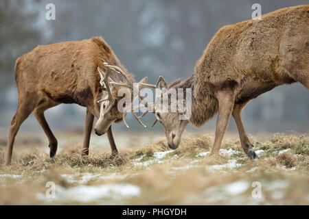 Close up of Red deer fighting during the rutting season in UK. - Stock Photo