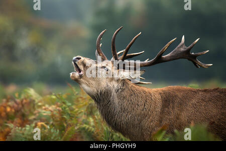 Close up of a red deer stag roaring during rutting season in autumn, UK. - Stock Photo