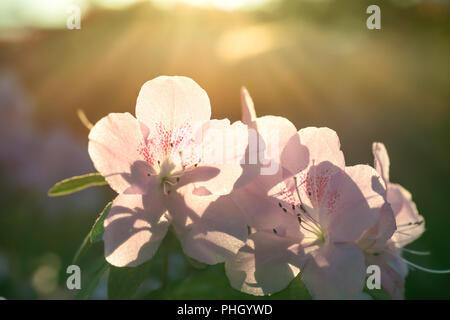 Spring flowers azalea in sun light - Stock Photo