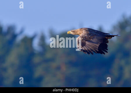 White-tailed eagle in flight - Stock Photo