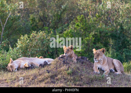 Lioness with cub lying down and resting in the grass - Stock Photo