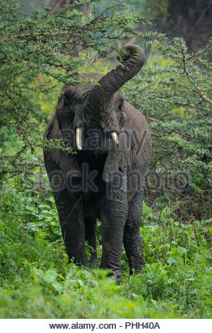 African elephant lifting trunk to browse acacia - Stock Photo