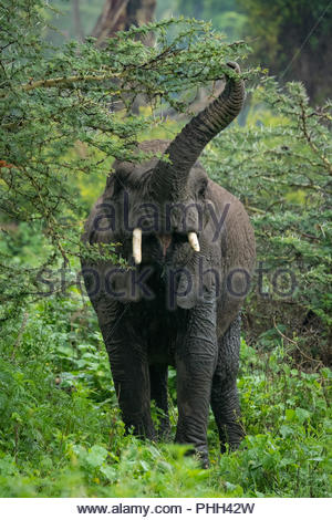 African elephant lifting trunk to reach acacia - Stock Photo