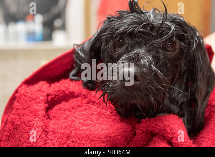 wet young puppy just out of a bath - Stock Photo
