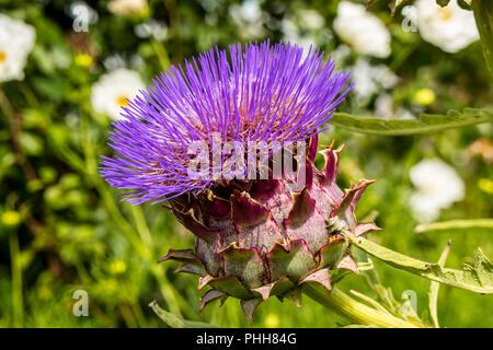 Large purple artichoke head Cynara cardunculus floweirng in a garden. - Stock Photo