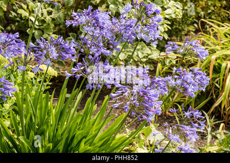 Blue Agapanthus (African lily) plants in a herbaceous border in a garden.