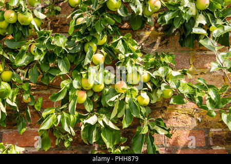 Espaliered apple tree with ripening pink and green apples trained to grow against old brick garden wall. - Stock Photo