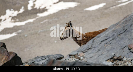 Mountain goat on the top of the rock with tongue out - Stock Photo