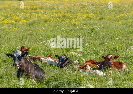 Calves that are resting on a summer meadow - Stock Photo
