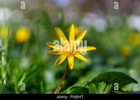 Early spring flower a Lesser Celandine - Stock Photo