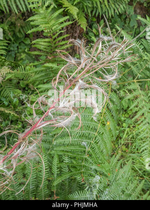 Seeds of Rosebay Willowherb [Epilobium angustifolium] and invasive weedin the UK, the seeds carried by the wind. - Stock Photo