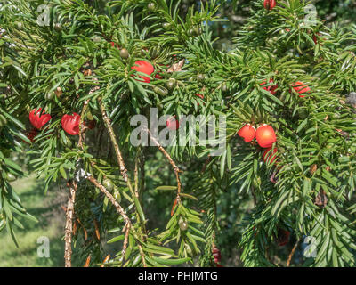 Foliage and red poisonous berries of a Yew (Taxus baccata) tree in sunshine. - Stock Photo