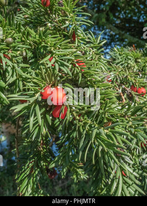 Foliage and red poisonous berries of a Yew / Taxus baccata tree in sunshine. Deadly plants of Britain. - Stock Photo