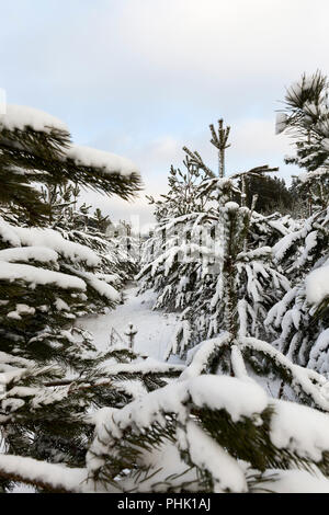 planting young pine trees in the snow in winter. After a heavy snowfall - Stock Photo