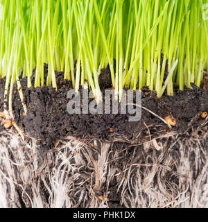 Green grass and soil from a pot - Stock Photo