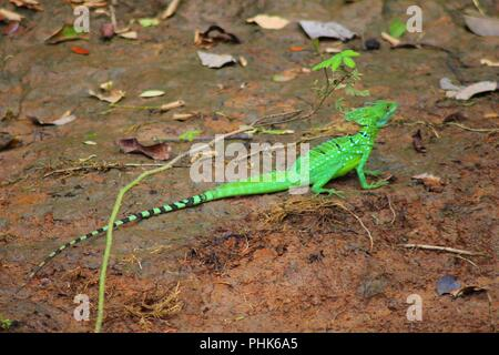 Jezus Christ Lizard or Plumed Basilisk - Costa Rica - Stock Photo