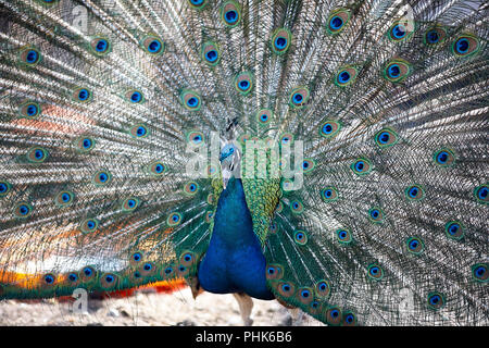 A beautiful male peacock expanded feathers. nice and colorfull. park outside - Stock Photo